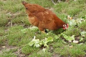 poule rousse légère queue noire