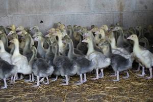 jeunes oies