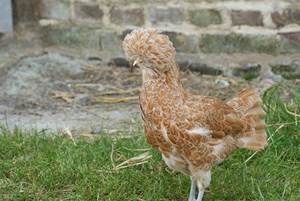 poule padoue huppé chamoisé
